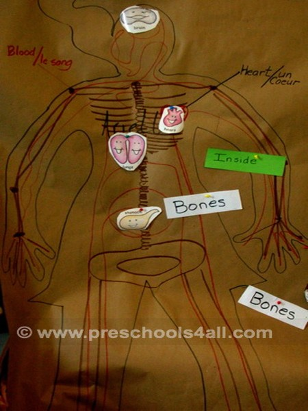 Drawing of Human Organs
